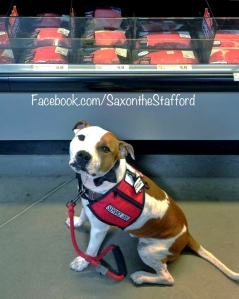 Saxon the Stafford service dog